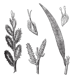Common Osier vintage engraving vector image
