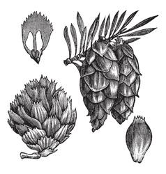 Black Spruce vintage engraving vector image