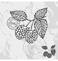 Hand drawn decorative raspberries vector