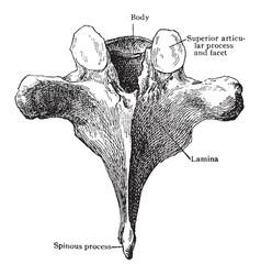 Sixth thoracic vertebra from behind vintage vector