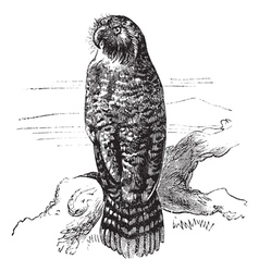 Kakapo vintage engraving vector