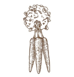 Engraving carrot vector