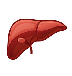 Human liver on white background vector