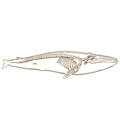Engraving whale skeleton vector