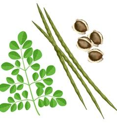 moringa oleifera plant vector image