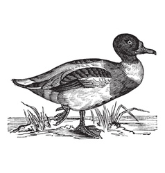 Vintage shelduck sketch vector