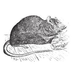 Vintage Brown rat Sketch vector image