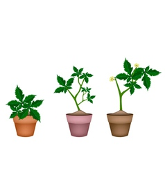 Fresh okra plant in ceramic flower pots vector