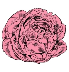 Hand-drawing peonies graphic flowers vector