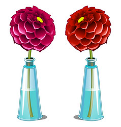 pink and red blooming dahlia in glass vase vector image vector image