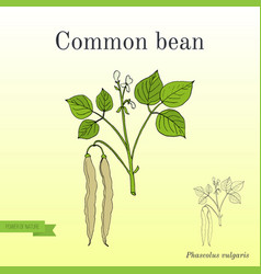 common bean phaseolus vulgaris vector image vector image