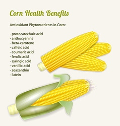 Stylized fresh ripe corn in the cob vector