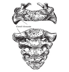 Superior and anterior surface of sacrum vintage vector