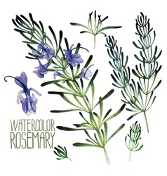 Watercolor rosemary set vector image vector image