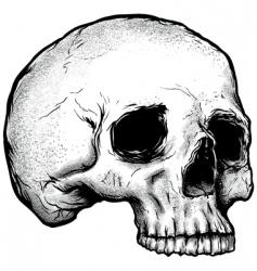 vector skull vector image