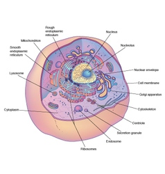 Animal cell diagram vector image vector image