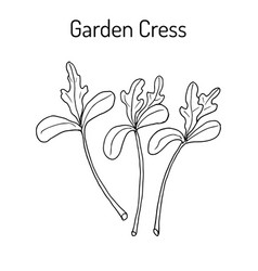 Garden cress lepidium sativum or pepper grass vector
