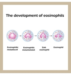 The development of eosinophils infographics vector