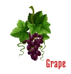 Black grape fruit botanical icon vector