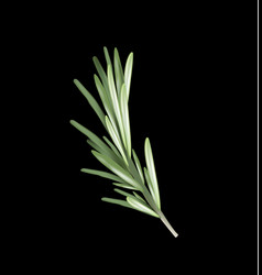 rosemary herb and spice on a black background vector image vector image