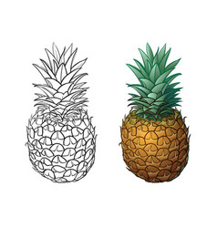 Hand drawn pineapple plus color vector