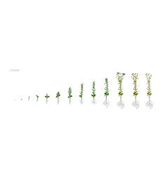 Flax linum usitatissimum growth stages vector