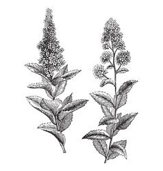 Vintage Steeplebush Sketch vector image vector image