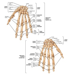 Bones of wrist and hand vector
