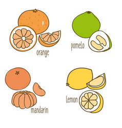 colored drawing citrus fruits collection vector image vector image