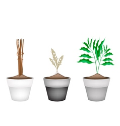 Fresh cardamon plants in ceramic flower pots vector