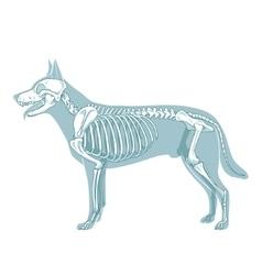 Dog skeleton veterinary vector