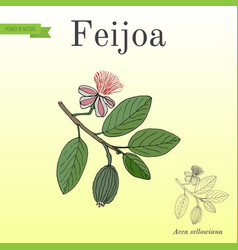 Feijoa acca sellowiana or pineapple guava and vector