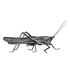 Meadow grasshopper sketch vector image