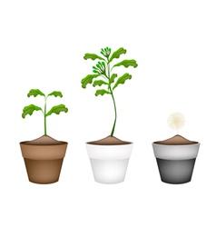 Fresh Clove Plant in Ceramic Flower Pots vector image
