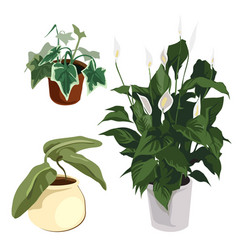 Calla lilies and other ornamental plants in pot vector image