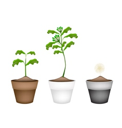 Fresh clove plant in ceramic flower pots vector
