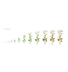 Buckwheat fagopyrum polygonaceae growth stages vector