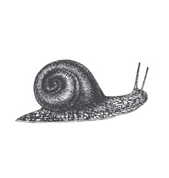 Hand drawn graving style snail vector