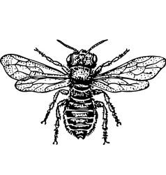 bug megachilidae vector image vector image