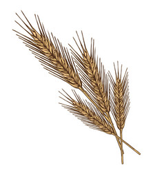 ears of wheat on white background vector image vector image