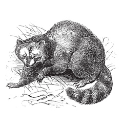 Vintage raccoon sketch vector