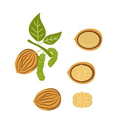 walnut handdrawn vector image vector image