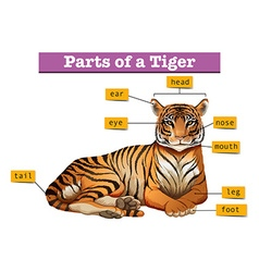 Diagram showing parts of tiger vector image