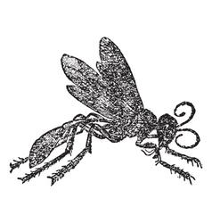 Vintage Sphex Sketch vector image