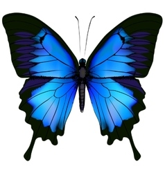 Blue butterfly papilio ulysses vector