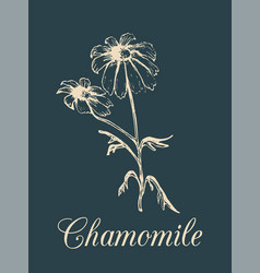 Chamomile hand drawn vector