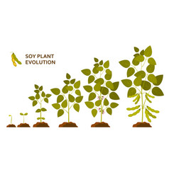 Soy plant evolution with leaves flowers and pods vector