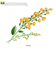 National flower of myanmar yellow padauk flowers vector