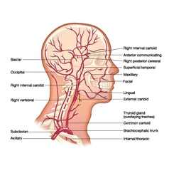 arteries head vector image