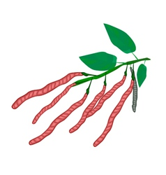 Fresh and Ripe Kidney Bean on A Plant vector image